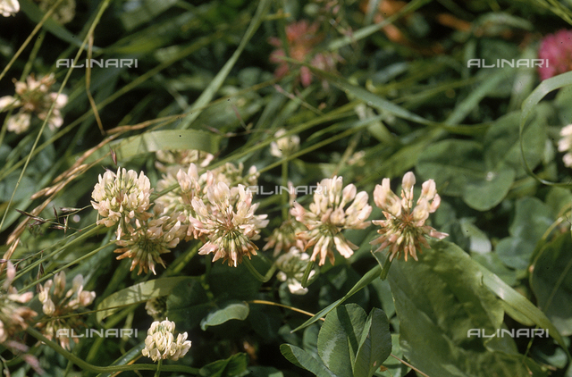 White Alpine Clover flowers