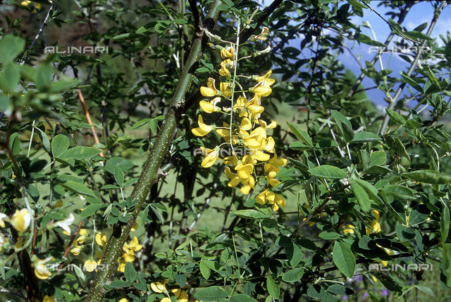 Laburnum anagyroides flowers, commonly know in English as Laburnum