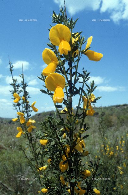 Spartium Junceum flowers, commonly known as Broom. National Park of Treja, Calcata