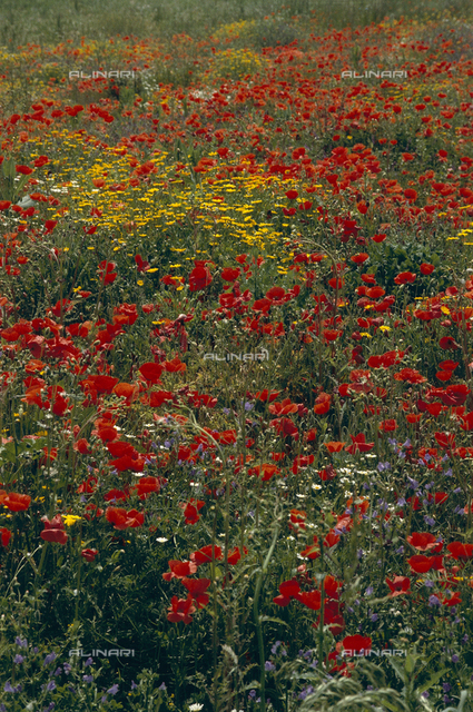 Poppies and other wild flowers in a field of the Nature Reserve of Treja, in Lazio