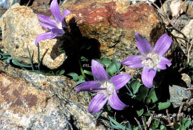Campanula Cenisia flowers growing between the rocks