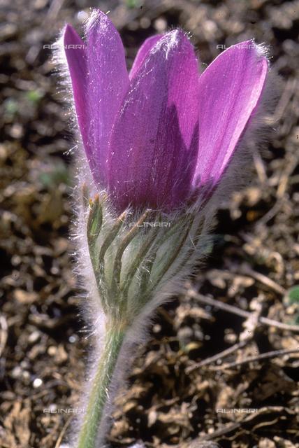 Pulsatilla Halleri flower, belonging to the Anemone species