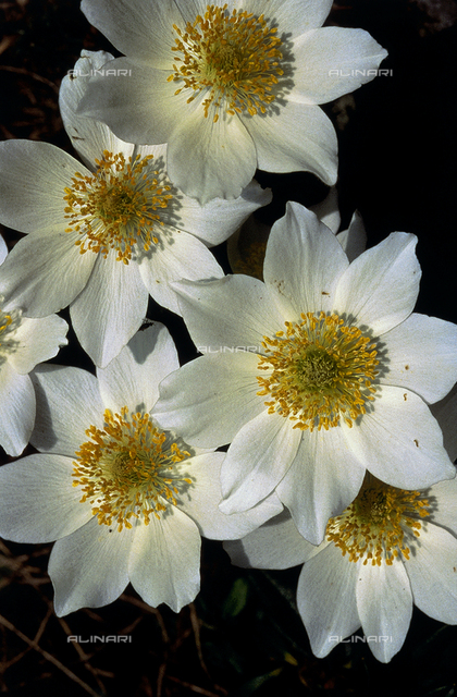 Pulsatilla Alpina flowers