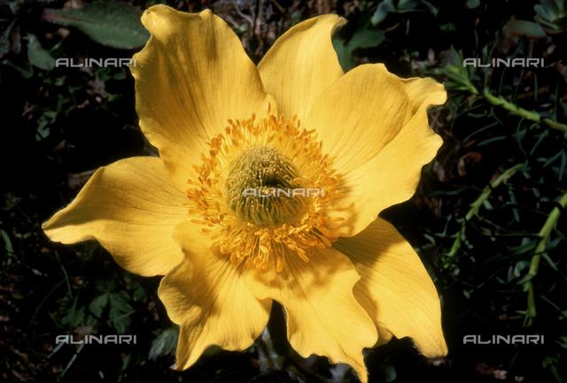 Pulsatilla Alpina Sulphurea flower, also called Alpine Anenome in English