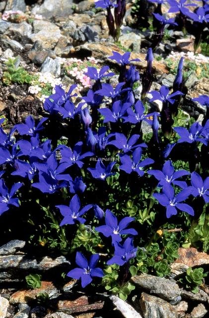 Gentiana Brachyphylla flowers