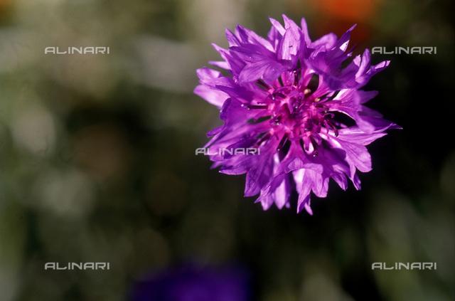 Violet Centaurea flower