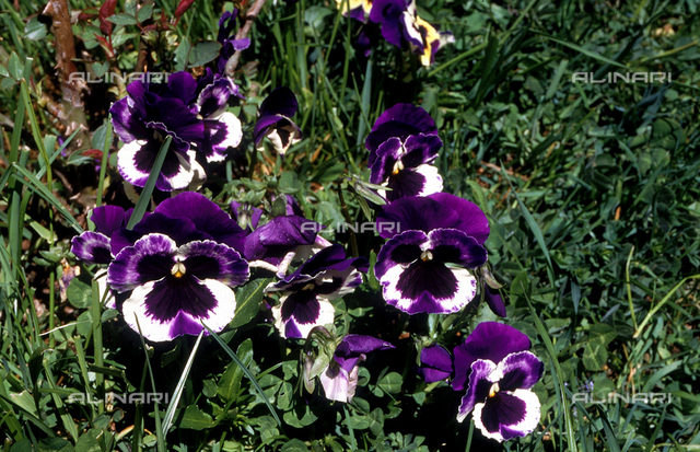 Detail of a field with some Tri-colored violets, commonly known as pansies