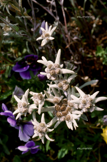 Leontopodium Alpinum flowers, commonly known as Edelweiss