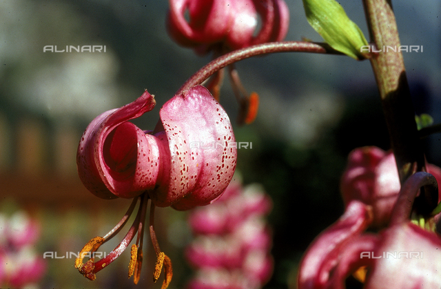 'Lilium amoenum' flowers, part of the Martagon Hybrid family
