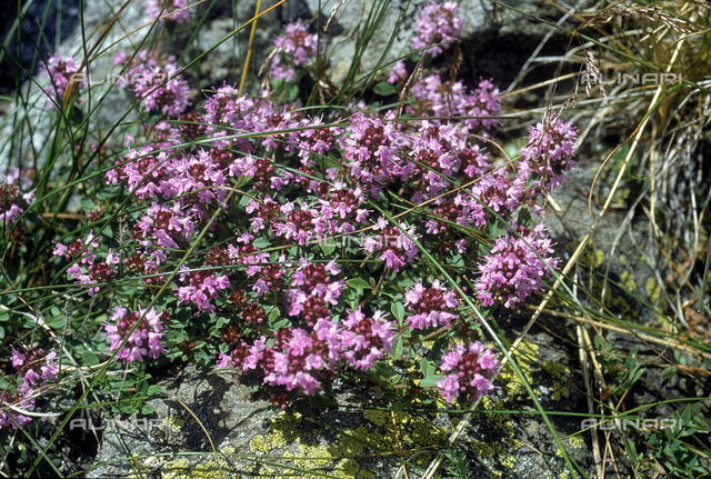"Thymus Serpyllum plant in bloom, commonly called ""Wild Thyme"" in English"