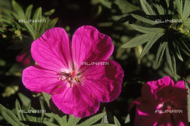 Close-up of a Wild Geranium flower