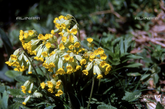 "Primula auricola, also called ""bear's ears"""