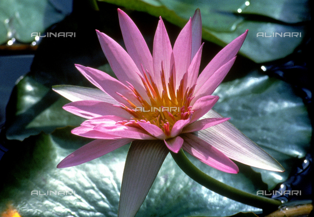 Close-up of a pink water-lily