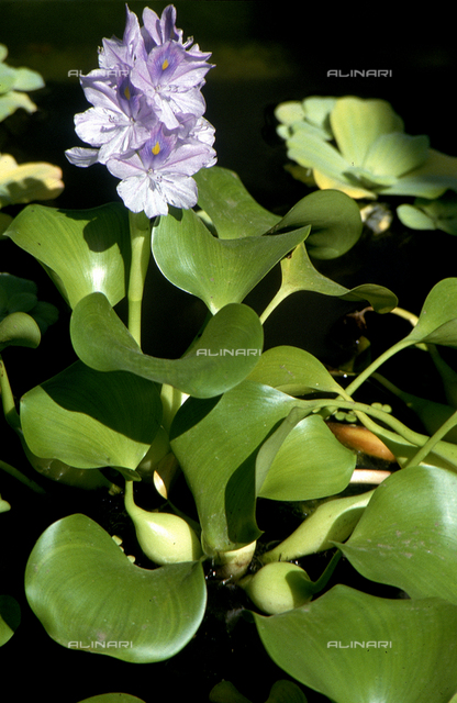 Eichhornia Crassipes flowers commonly called Water Hyacinth