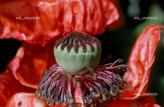 Pistil of a cultivated Poppy