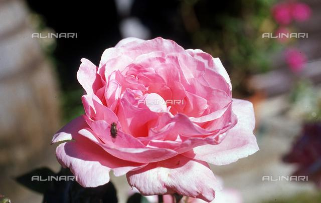 Common Rosebud