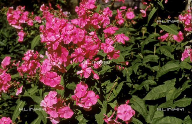 Blooms of a Phlox plant