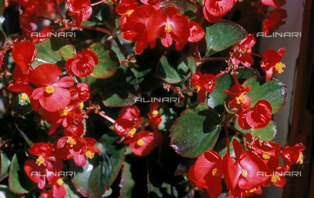 Flowers of a Begonia