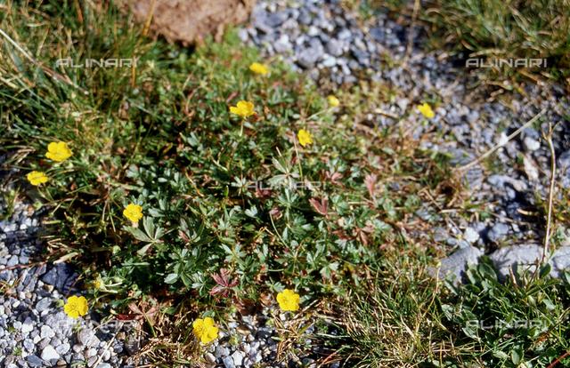 Potentilla plant in bloom