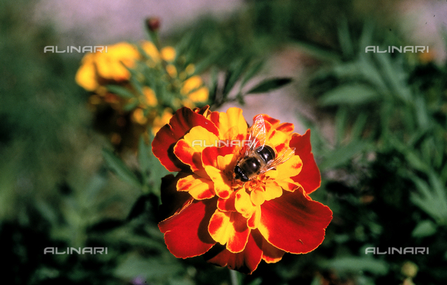 An insect sitting on a Tagetes flower