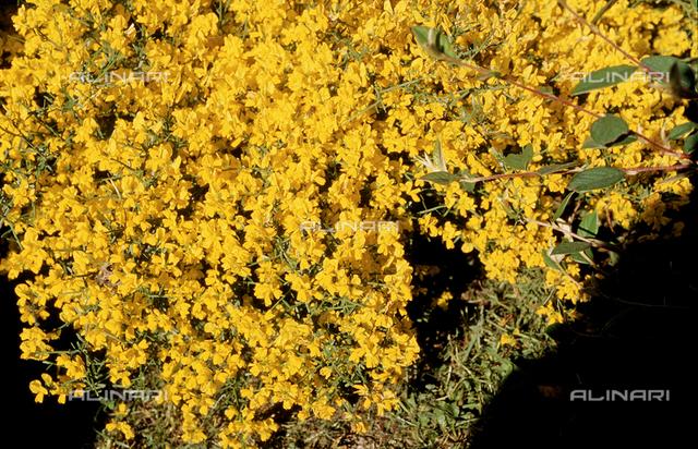 Yellow Alyssum flowers