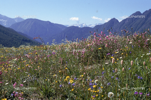 Mountain field with various kinds of flowers. Antagnod, Ayas