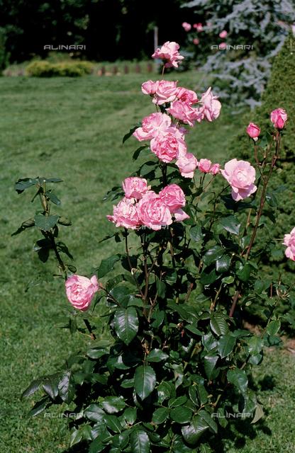 Rose plant in bloom