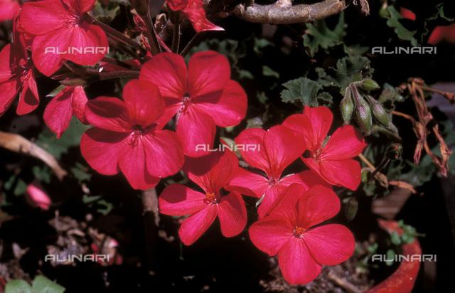 Close-up of Geranium flowers
