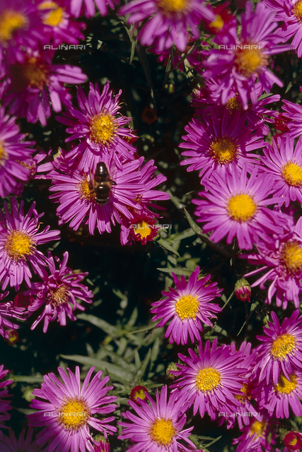 A few examples of flowering aster autunnali. A bee is resting on a flower gathering pollen