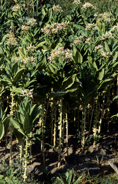 Tabacco plants in bloom