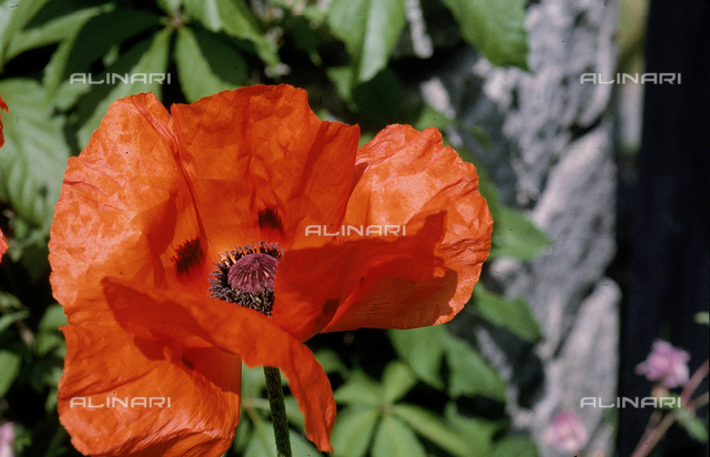 Close-up of a cultivated poppy