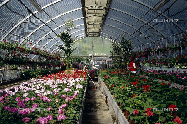 Interior of a large greenhouse used for flower-growing; in the foreground numerous geranium plants in a variety of colorings