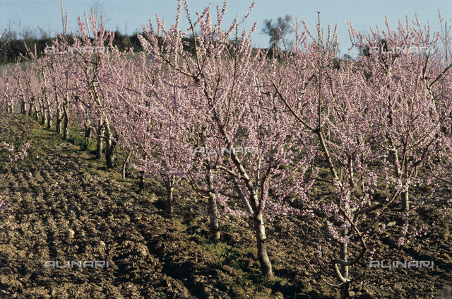 A peach orchard in full bloom in the environs of Sutri, Italy