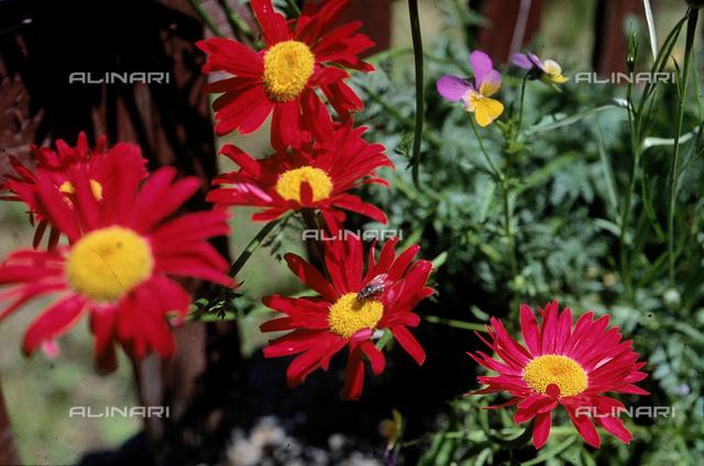 "Some Chrysanthemum Maximum flowers, commonly called ""Shasta Daisies"" in English"