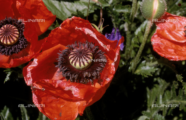 Close-up of a wilted cultivated poppy