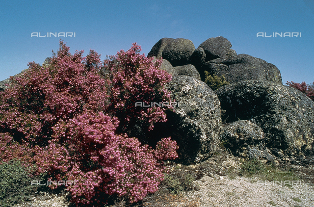 Flowering heather on the Estrela mountain chain in Portugal