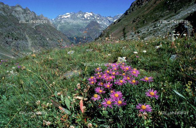 """Field with some Aster Alpinus flowers, commonly called """"Alpine Aster"""""""