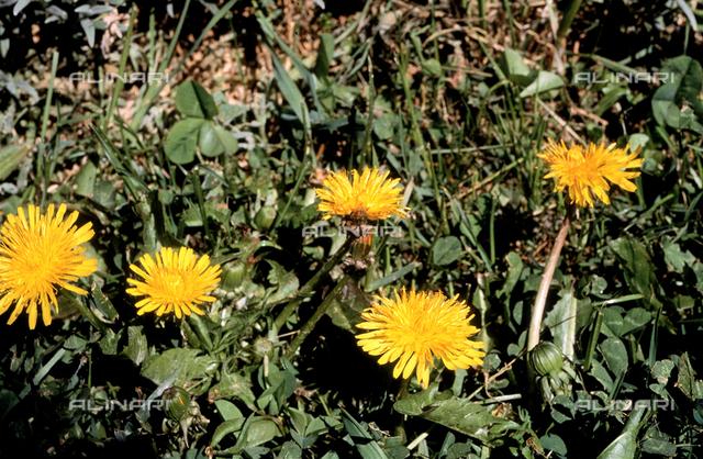 Taraxacum Officinale flower