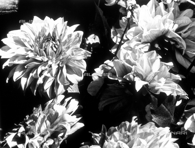 """""""Dahlias"""". Close-up of a few dahlia flowers. The photograph participated in the International Photogrphy Exhibit of the Subalpine Photographic Society of Turin, in 1952"""