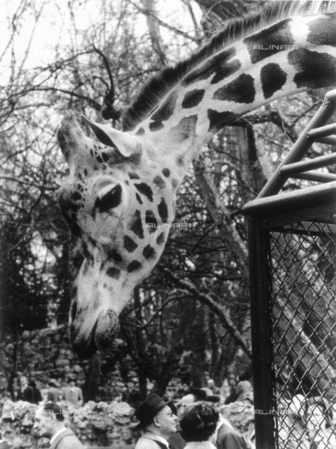 A close-up of a giraffe, streching its long neck over the gate at the zoo. Below; some of the visitors of the zoo
