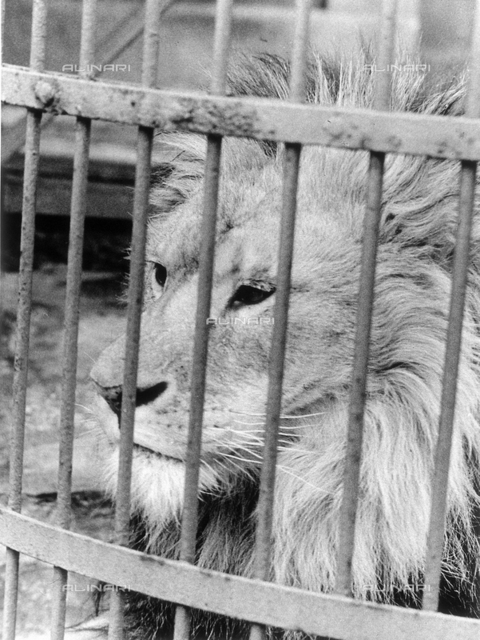 Close-up of a caged lion in a zoo