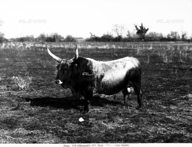 A bull of roman breed, in the Lazio countryside