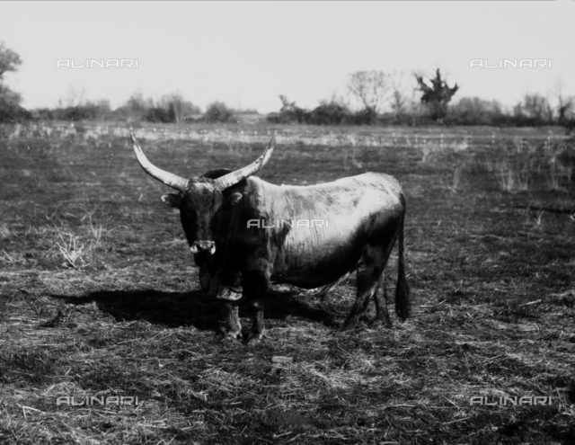 Ox photographed in a field