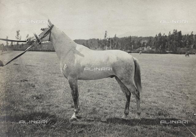 Album of the Marquis Giuseppe Colli Felizzano - Ethiopia / Argentina: horse breeding Folin