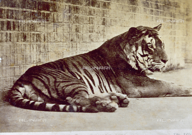 Tiger lying down against an enclosure wall