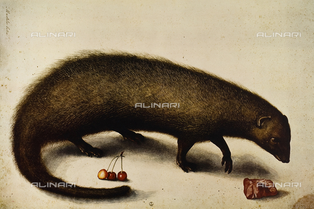 Mustela Cutra (ichneumon or mongoose), etching in colors, Ligozzi Jacopo (1547-1627), Cabinet of Drawings and Prints, Uffizi Gallery