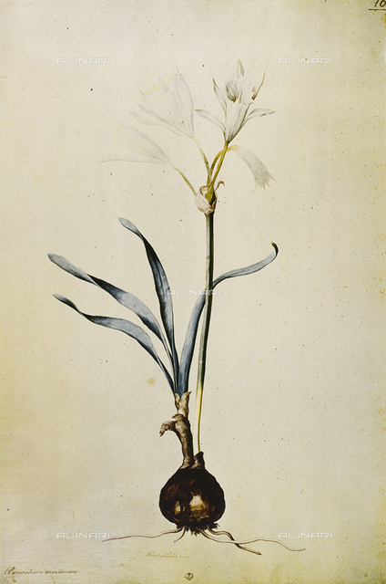 Pancratium Maritimum (Giglio Marino), engraving in color, Ligozzi Jacopo (1547-1627), Cabinet of Drawings and Prints, Uffizi Gallery