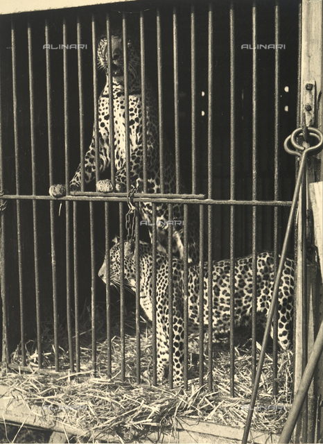 Two caged leopards behind bars