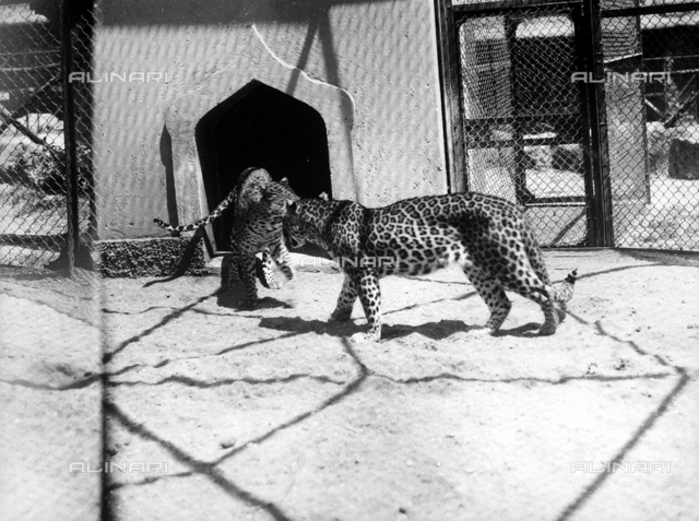 The image shows two cheetas inside a metal-wired enclosure. The image shows a foreshortening of a zoo.
