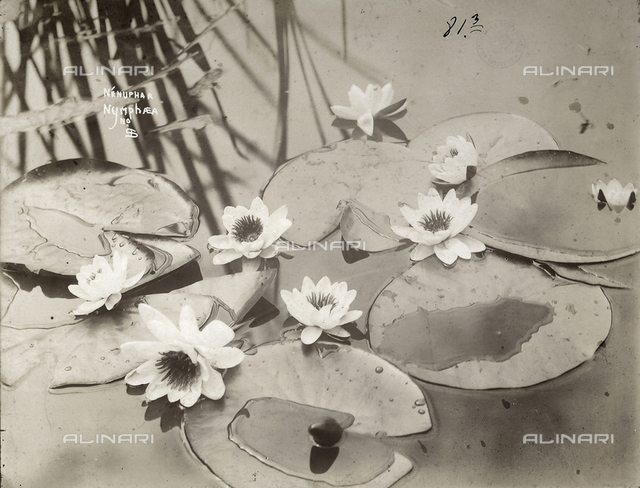 Leaves and flowers of nymphaea on water.